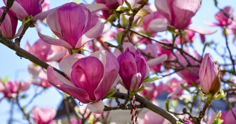 Destinații de weekend: Craiova, orașul magnoliilor