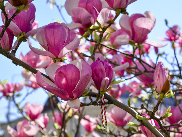 Craiova-magnolii-aprilie2017